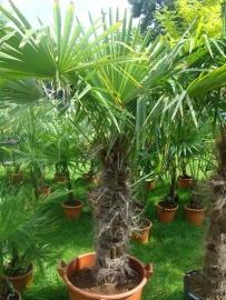 Palmboom XL