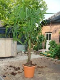 Palmboom Trachycarpus Fortunei stamhoogte 15-20cm, totale hoogte circa 100cm