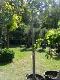 Vijgenboom (Ficus Carica) `Lungo` stamomtrek 20-30 cm, hoogte 225-250 cm