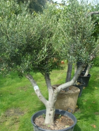 Olijfboom Olea Europea  `Basso`