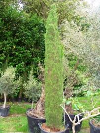 Toscaanse Cipres (Cupressus sempervirens)  `Stricta` hoogte 325 - 350 cm