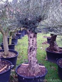 Olijfboom `Collosus`, stamomtrek 100-110cm, hoogte 200-250cm