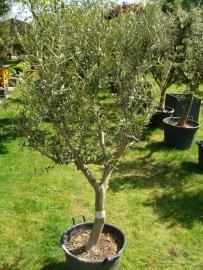 Olijfboom `Belleza` 25-35 cm stamomtrek, hoogte 150-175cm