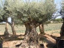 Olijfboom `Imperatore` stamomtrek 240-280 cm, hoogte ± 300cm