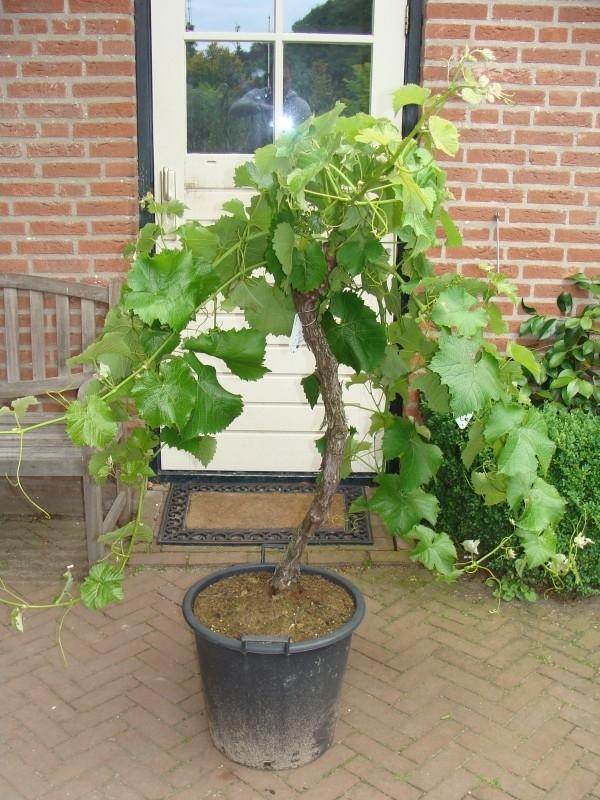 Wijnrank (Vitis Vinifera) middel hoog (circa 15-20 jaar)