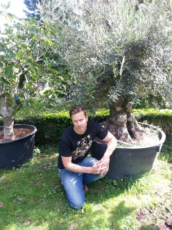 Olijfboom `Collosus XXL`, stamomtrek 160-180cm, hoogte 200-250cm