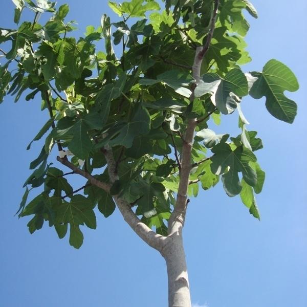 Vijgenboom (Ficus Carica) `Bellissimo` halfstam stamomtrek 30-35 cm