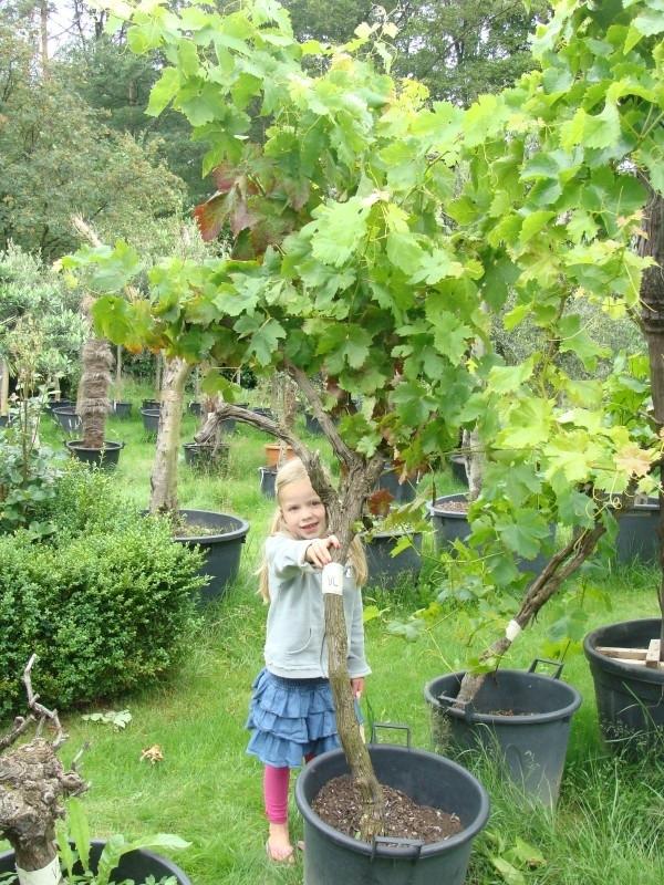 Wijnrank (Vitis Vinifera) hoogte circa 175 cm (circa 30-40 jaar)