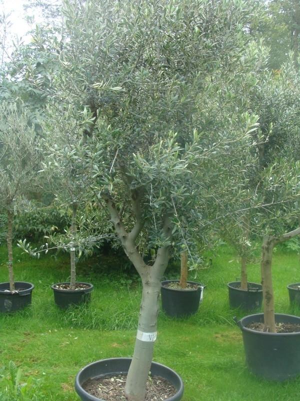 Olijfboom `Delight`, Stamomtrek 35-45cm, hoogte 200-225 cm
