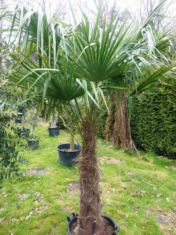 Palmboom `Trachicarpus Fortunei` stamhoogte 140-160 cm, totale hoogte 230-270 cm