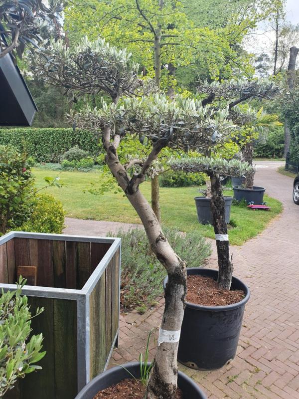 Olijfboom `Pom Pom` stamomtrek 45-55 cm, hoogte 170-200cm