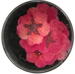 dried flower fuchsia 10 stuks
