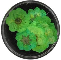 dried flower groen 10 stuks