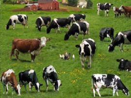 Blog...Nieuw binnen - verschillende koeienrassen op stof