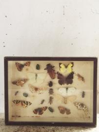 Vlindervitrine/ Butterfly vitrine