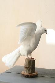 Geprepareerde duif
