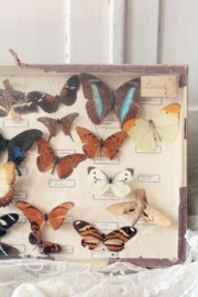 Franse vlinder vitrine VERKOCHT