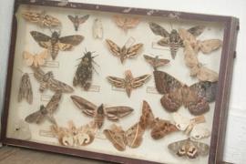 Oude vlinder vitrine VERKOCHT