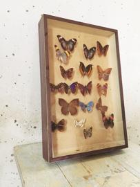 Vlinder vitrine