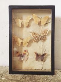 Antieke vlinder vitrine/ Antique butterfly vitrine