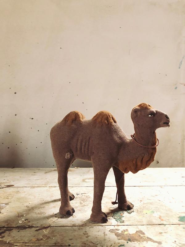 Old flock camel