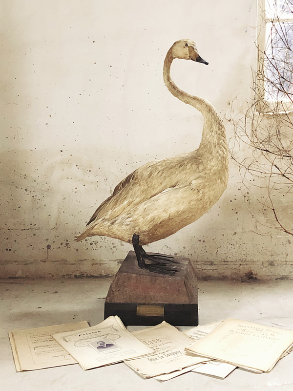 Antique swan Grand Cygne Sauvage