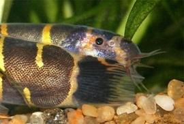 Acanthophthalmus Myersi / Reuze Kuhli