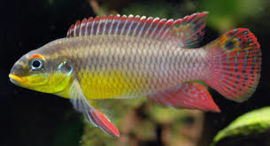 Pelvicachromis Taeniatus molive / Kersenbuik cichlide