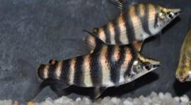 Abramites hypselonotus / dwarsstreep kopstaander
