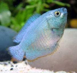 colisa lalia cobalt blue / kobalt dwerg gourami
