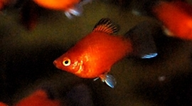 maculatus red wagtail / Platy