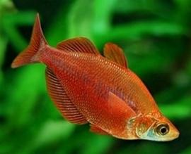 Glossoleps incisus / Red Rainbow Fish