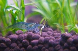 Aeolicus strigatus Blue / Blauwe Garnaal