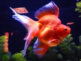 Fancy Goldfish Ryunkin
