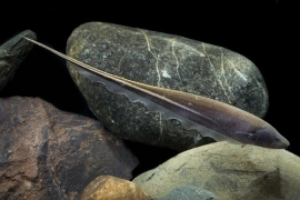 Sternopygus macrurus/ Goudenlijn mesvis