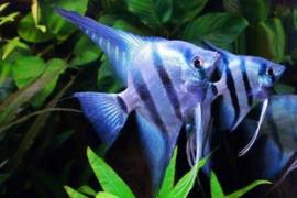 Pterophyllum scalare Blue shine / Maanvis Blue Shine