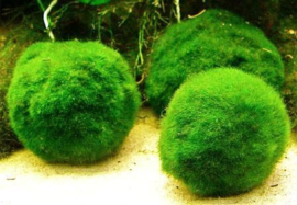 Chladoflora medium / mosbal  2-3cm per stuk