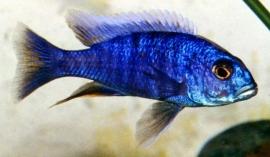 Haplochromis Ahli / Cichlide
