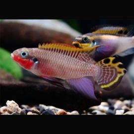 Pelvicachromis Taeniatus Klugei / Kersenbuik cichlide