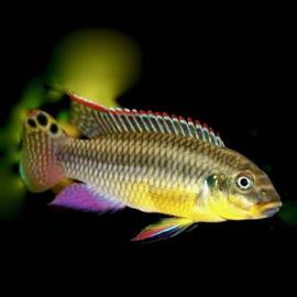 Pelvicachromis Taeniatus Kienke / Kersenbuik cichlide