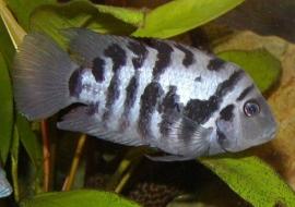 Amatitlania nigrofasciata / Cichlasoma nigrofasiatus