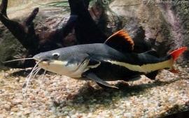 Phractocephalus Hemioliopterus / Roodstaart Meerval