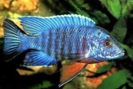 Aulonocara Nyassae Blue
