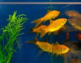 Goldfish Yellow
