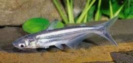 pangasius sutchi / Blauwe haai
