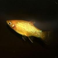 maculatus gold /Platy goud
