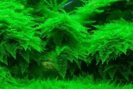 Vesicularia montagnei / christmass moss   80cc cup