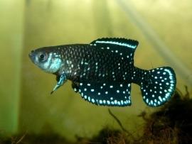 Austrolebias Nigripinnis / Blackfin Pearlfish