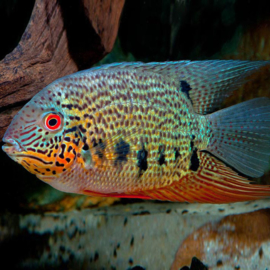 Heros notatus green red spotted  / Cichlasoma