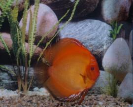 Discusvissen in het aquarium plaatsen